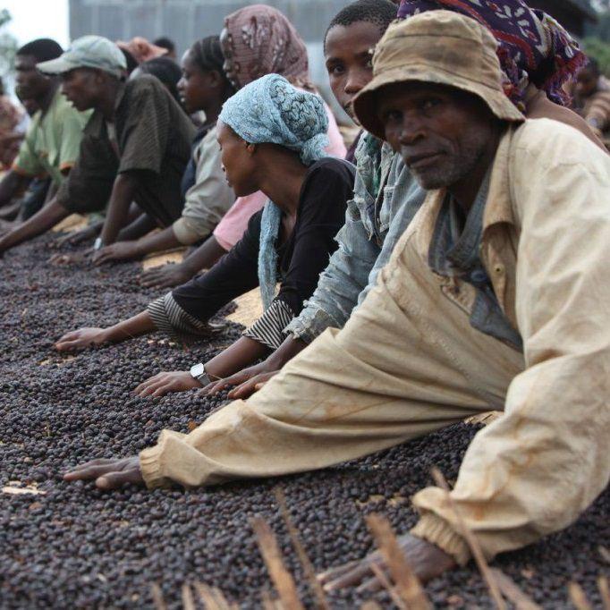 10 bước sản xuất hạt cafe từ khi gieo trồng