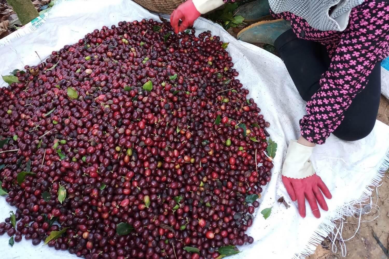 khoi nghiep cafe ban cafe catimor cau dat da lat chin do 100